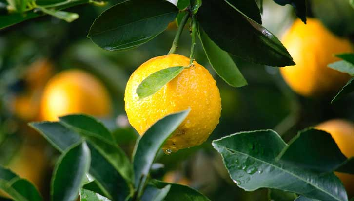 how to make organic fertilizer for fruit trees